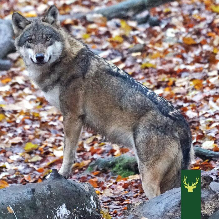 Jagd Podcast Jagdtalk - Der Wolf - Freund oder Feind