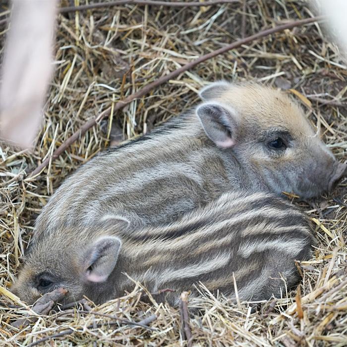 Afrikanische Schweinepest beim Schwarzwild