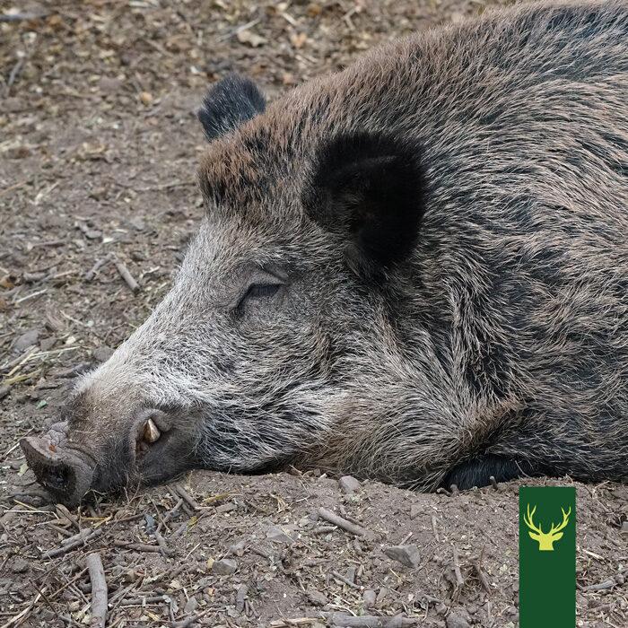 Jagd Podcast Jagdtalk: Die Afrikanische Schweinepest (ASP)